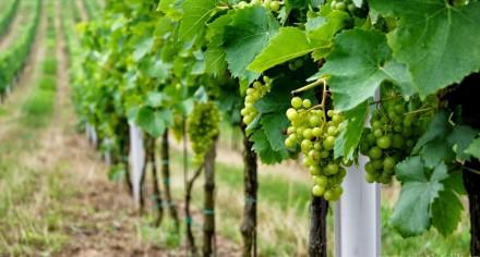 vinice muškát moravský