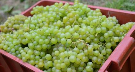 vinobraní muškát moravský