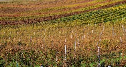 vinice podzim