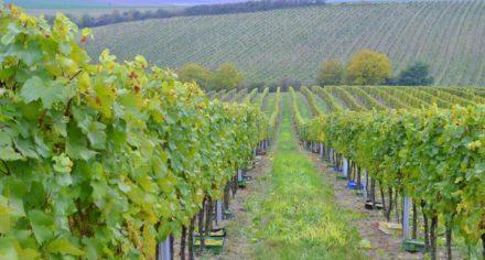 Říjnové vinobraní odrůdy Chardonnay, říjen 2016
