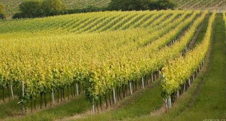 vinice vinařství karlík