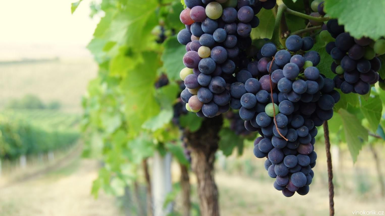 Práce ve vinici – srpen